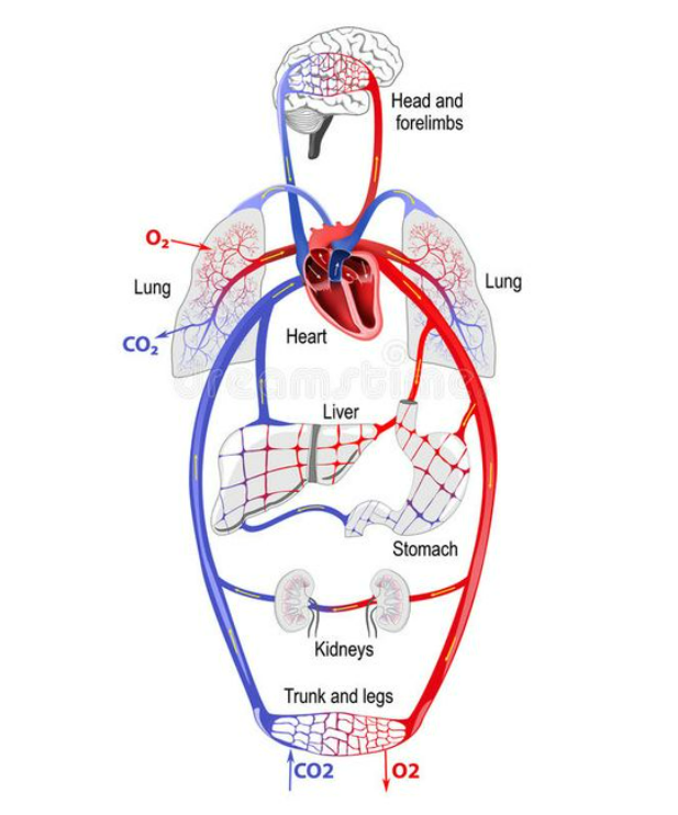 tim và hệ tuần hoàn