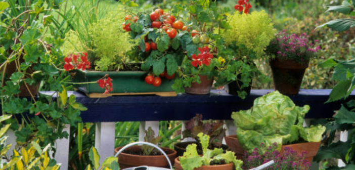 tự trồng rau tại nhà
